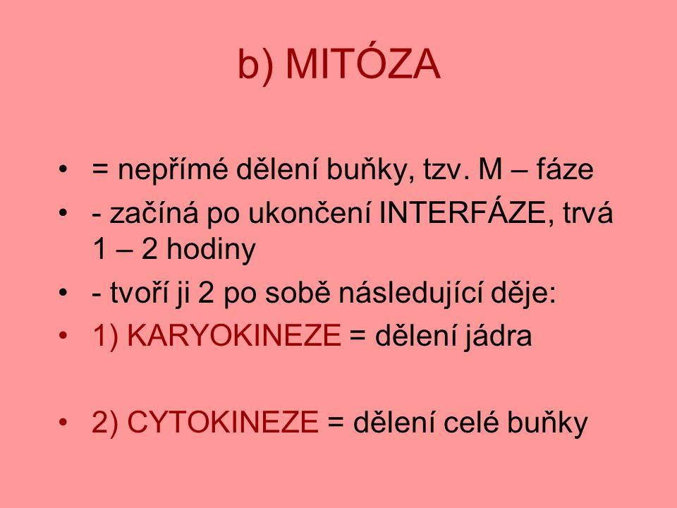 b) MITÓZA = nepřímé dělení buňky, tzv. M – fáze - začíná po ukončení INTERFÁZE, trvá 1 – 2 hodiny - tvoří ji 2 po sobě následující děje: 1) KARYOKINEZ