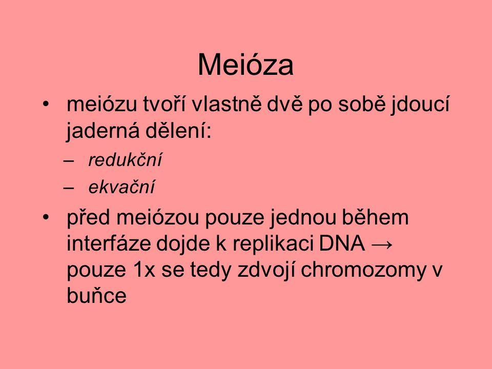 Meióza meiózu tvoří vlastně dvě po sobě jdoucí jaderná dělení: –redukční –ekvační před meiózou pouze jednou během interfáze dojde k replikaci DNA → po