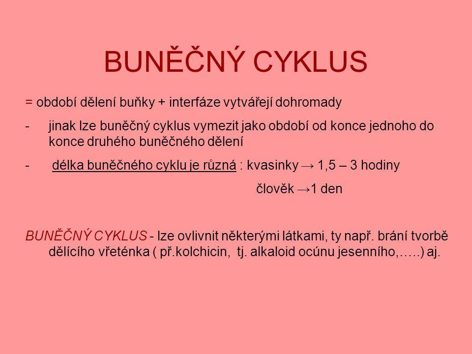 BUNĚČNÝ CYKLUS = období dělení buňky + interfáze vytvářejí dohromady -jinak lze buněčný cyklus vymezit jako období od konce jednoho do konce druhého b