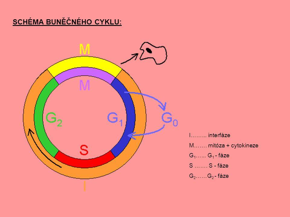 SCHÉMA BUNĚČNÉHO CYKLU: I……... interfáze M……. mitóza + cytokineze G 1 …... G 1 - fáze S ……. S - fáze G 2 ……G 2 - fáze
