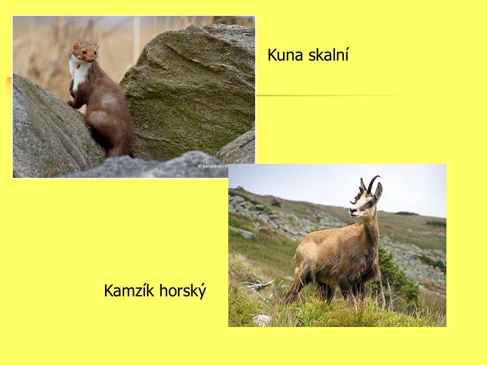 Kuna skalní Kamzík horský