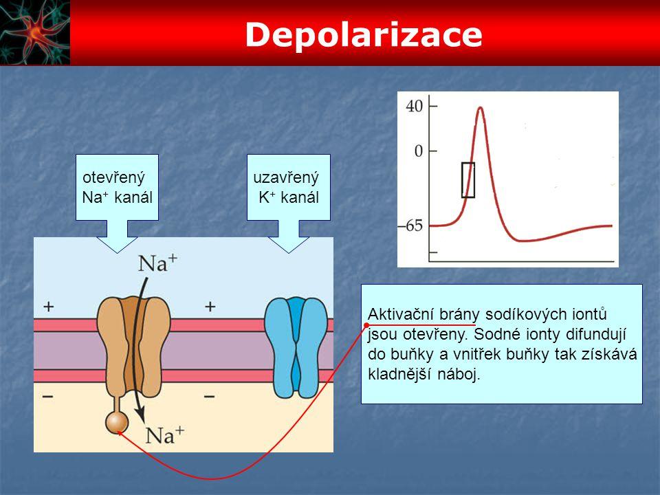 uzavřený K + kanál otevřený Na + kanál Aktivační brány sodíkových iontů jsou otevřeny. Sodné ionty difundují do buňky a vnitřek buňky tak získává klad