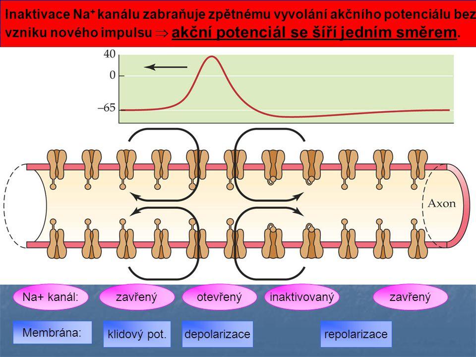 Inaktivace Na + kanálu zabraňuje zpětnému vyvolání akčního potenciálu bez vzniku nového impulsu  akční potenciál se šíří jedním směrem. Membrána: zav