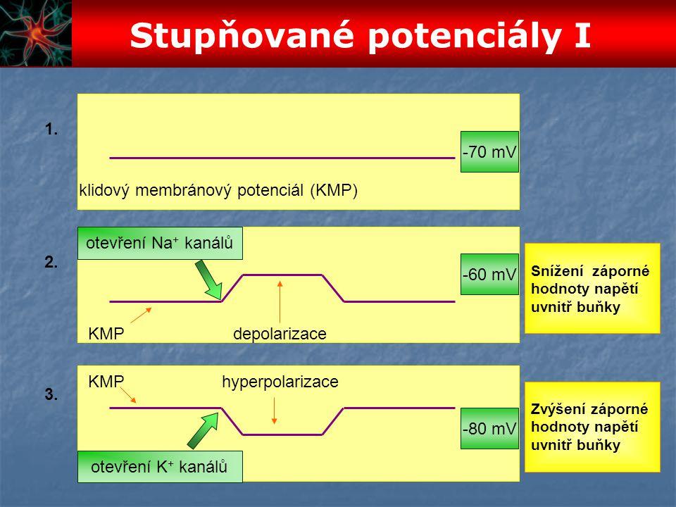 2. 1. 3. klidový membránový potenciál (KMP) KMPdepolarizace KMPhyperpolarizace -70 mV -60 mV -80 mV otevření Na + kanálů otevření K + kanálů Zvýšení z