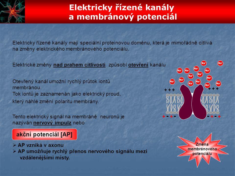 + + + Na + ---- ++ ++ Tento elektrický signál na membráně neuronů je nazýván nervový impulz nebo Otevřený kanál umožní rychlý průtok iontů membránou.
