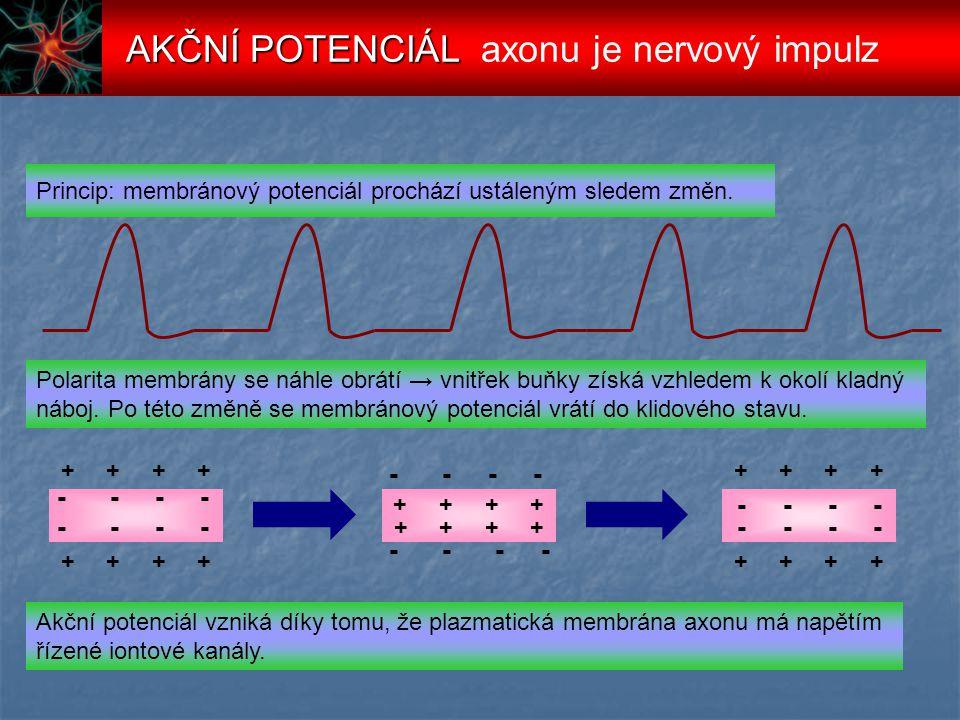 zavřený aktivovatelný Na + kanál uzavřený K + kanál Prahové napětí – podnět otevře některé Na + kanály.Pokud vtok Na + dosáhne prahových hodnot, otevřou se aktivační brány pro Na + a způsobí tak AP.
