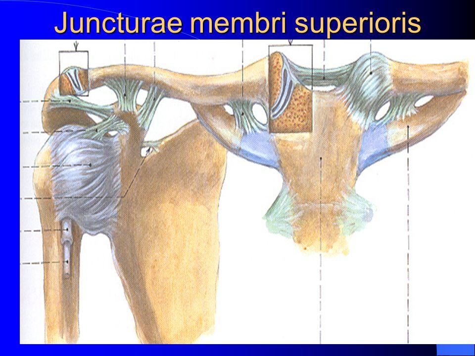 Juncturae membri superioris