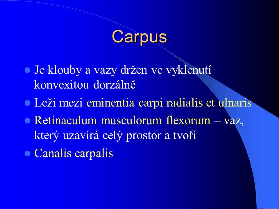 Carpus Je klouby a vazy držen ve vyklenutí konvexitou dorzálně Leží mezi eminentia carpi radialis et ulnaris Retinaculum musculorum flexorum – vaz, kt