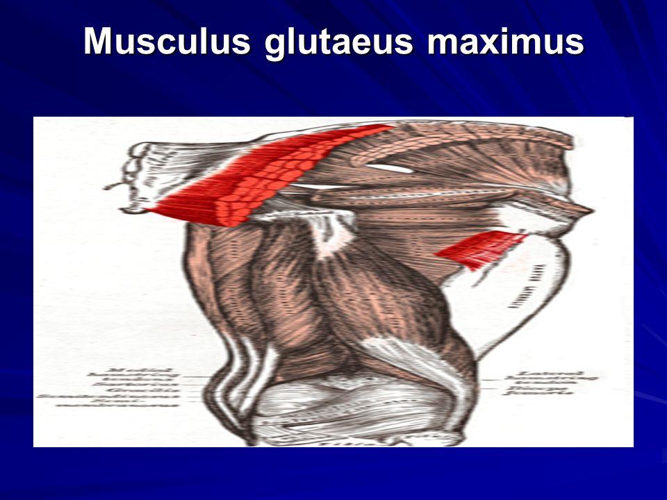 Musculus glutaeus maximus Musculus glutaeus maximus