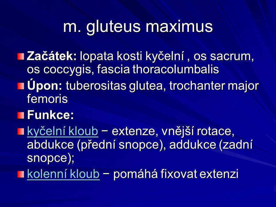 m. gluteus maximus Začátek: lopata kosti kyčelní, os sacrum, os coccygis, fascia thoracolumbalis Úpon: tuberositas glutea, trochanter major femoris Fu