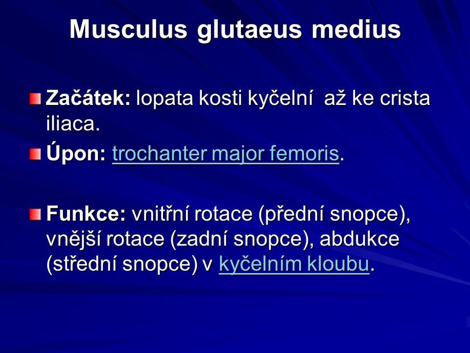Musculus glutaeus medius Začátek: lopata kosti kyčelní až ke crista iliaca. Úpon: trochanter major femoris. trochanter major femoristrochanter major f