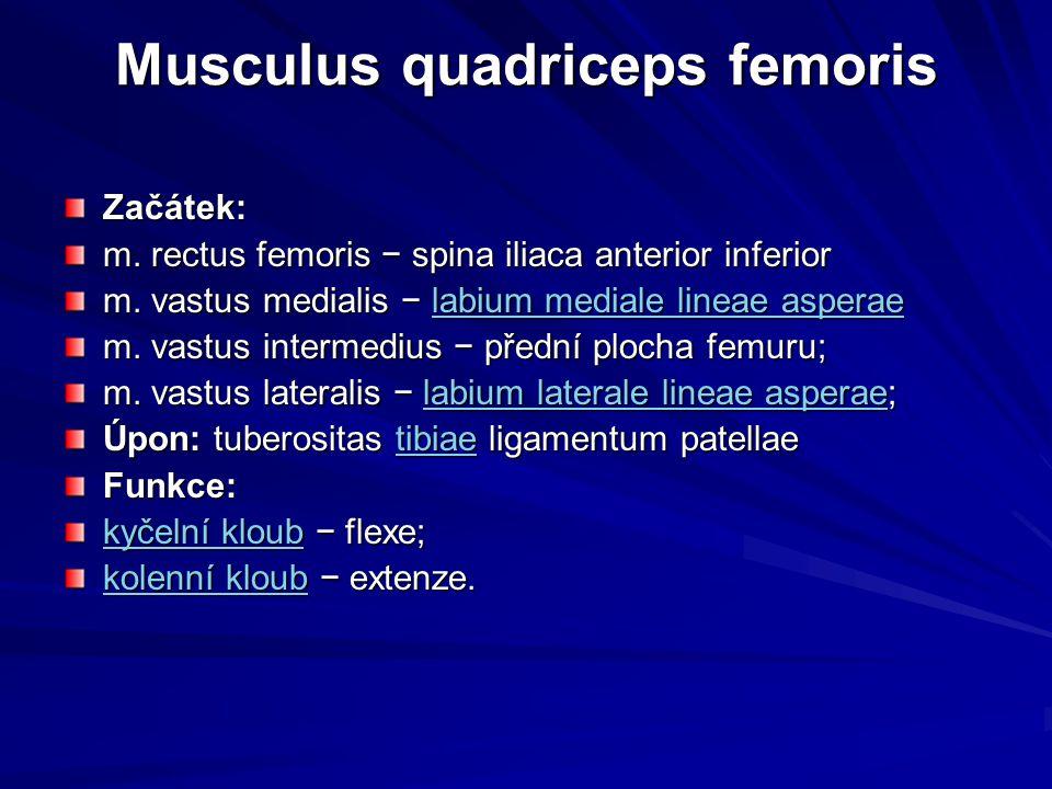 Musculus quadriceps femoris Začátek: m. rectus femoris − spina iliaca anterior inferior m. vastus medialis − labium mediale lineae asperae labium medi