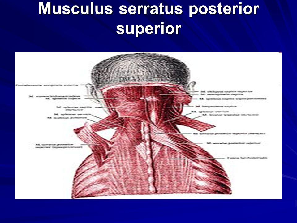 Musculus serratus posterior superior Musculus serratus posterior superior