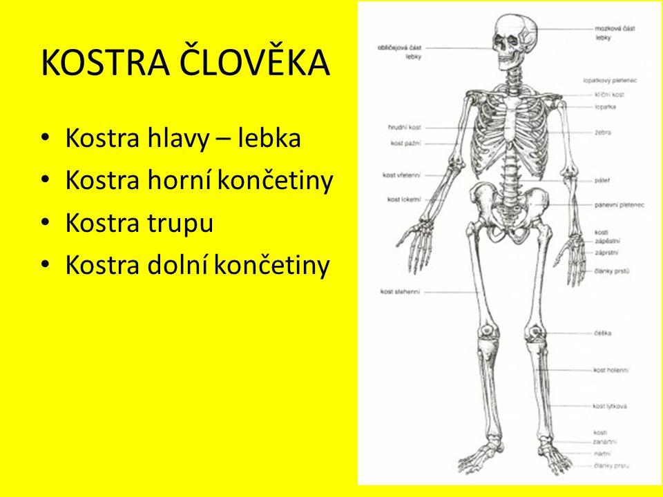 KOSTRA ČLOVĚKA Kostra hlavy – lebka Kostra horní končetiny Kostra trupu Kostra dolní končetiny