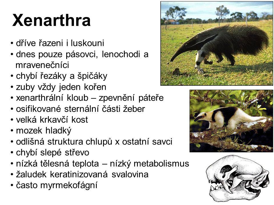 Xenarthra Cingulata Dasypodidae (8 rodů, 21 druhů) modifikace kůže 3 – 5 prstů stále rostoucí zuby, proměnlivost v jejich počtu savanové druhy soliterní