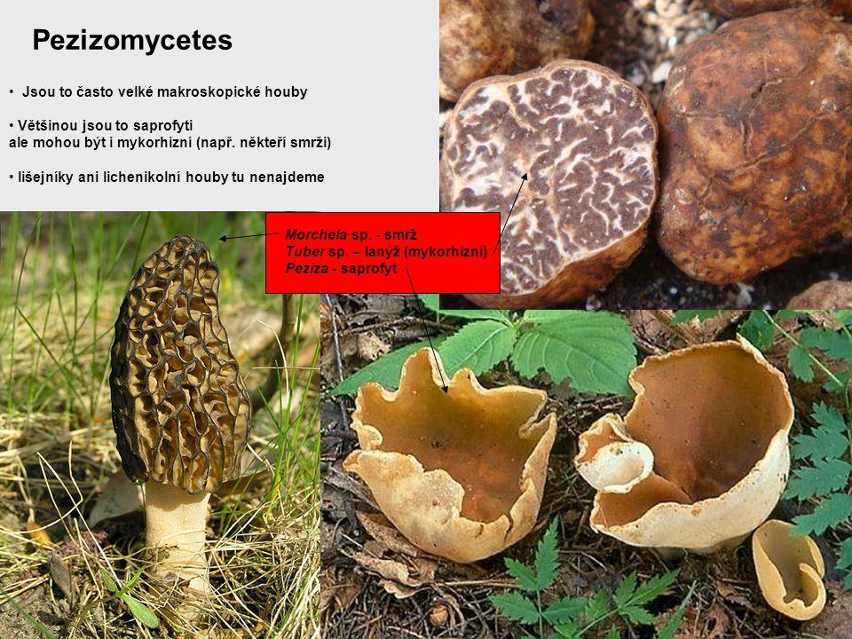 Pezizomycetes Jsou to často velké makroskopické houby Většinou jsou to saprofyti ale mohou být i mykorhizní (např. někteří smrži) lišejníky ani lichen