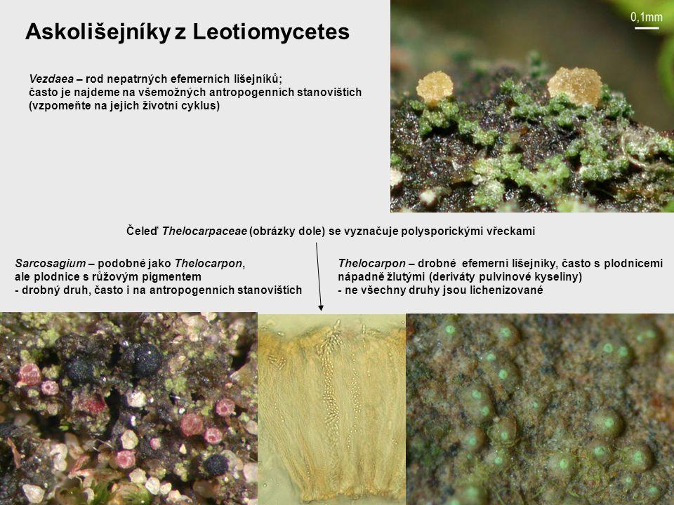 Askolišejníky z Leotiomycetes Vezdaea – rod nepatrných efemerních lišejníků; často je najdeme na všemožných antropogenních stanovištích (vzpomeňte na