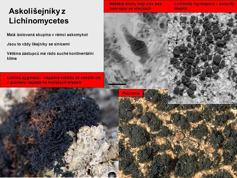 Askolišejníky z Lichinomycetes Lichina pygmaea – nápadné keříčky až několik cm v průměru najdete na mořských březích Lichinella myriospora – korovitý