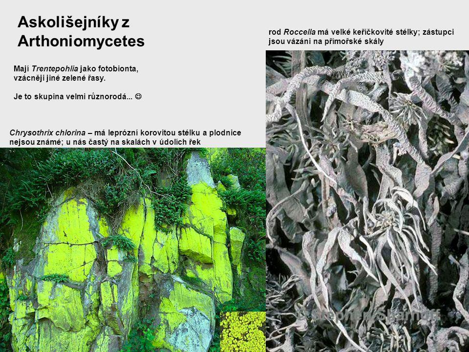 Askolišejníky z Arthoniomycetes Mají Trentepohlia jako fotobionta, vzácněji jiné zelené řasy. Je to skupina velmi různorodá... Chrysothrix chlorina –