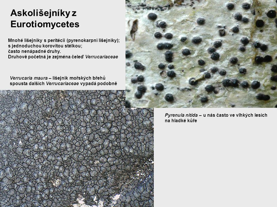 Askolišejníky z Eurotiomycetes Mnohé lišejníky s peritécii (pyrenokarpní lišejníky); s jednoduchou korovitou stélkou; často nenápadné druhy. Druhově p