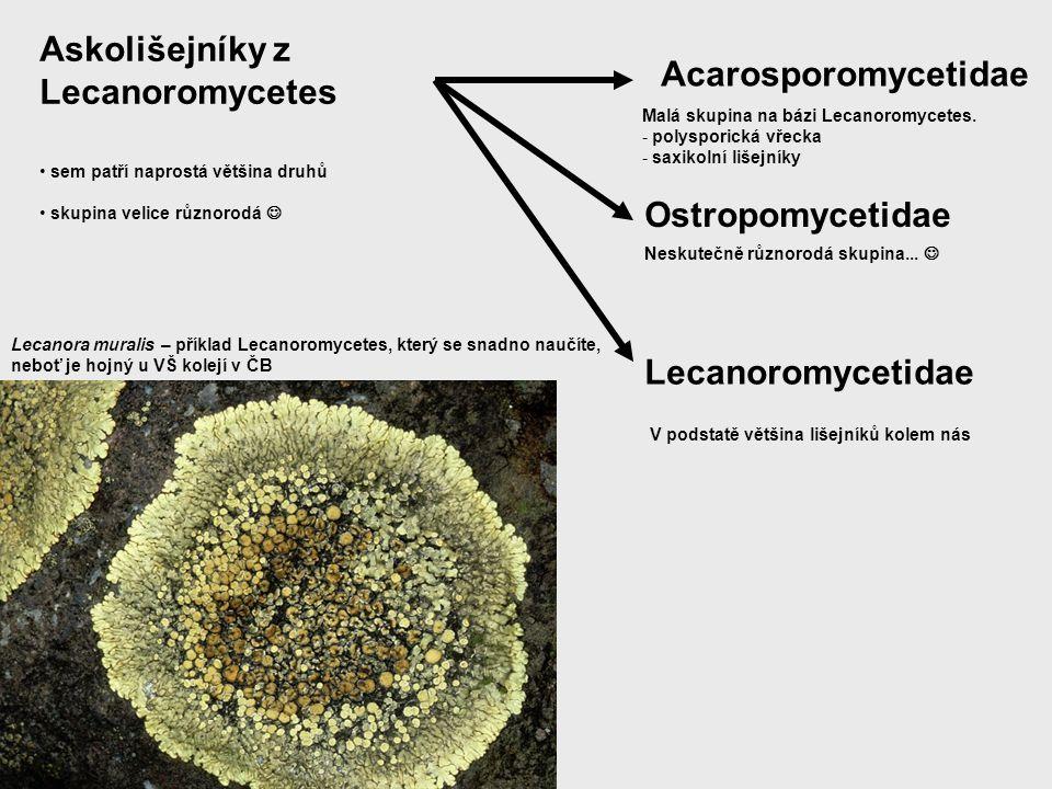 Askolišejníky z Lecanoromycetes sem patří naprostá většina druhů skupina velice různorodá Acarosporomycetidae Ostropomycetidae Lecanoromycetidae Malá