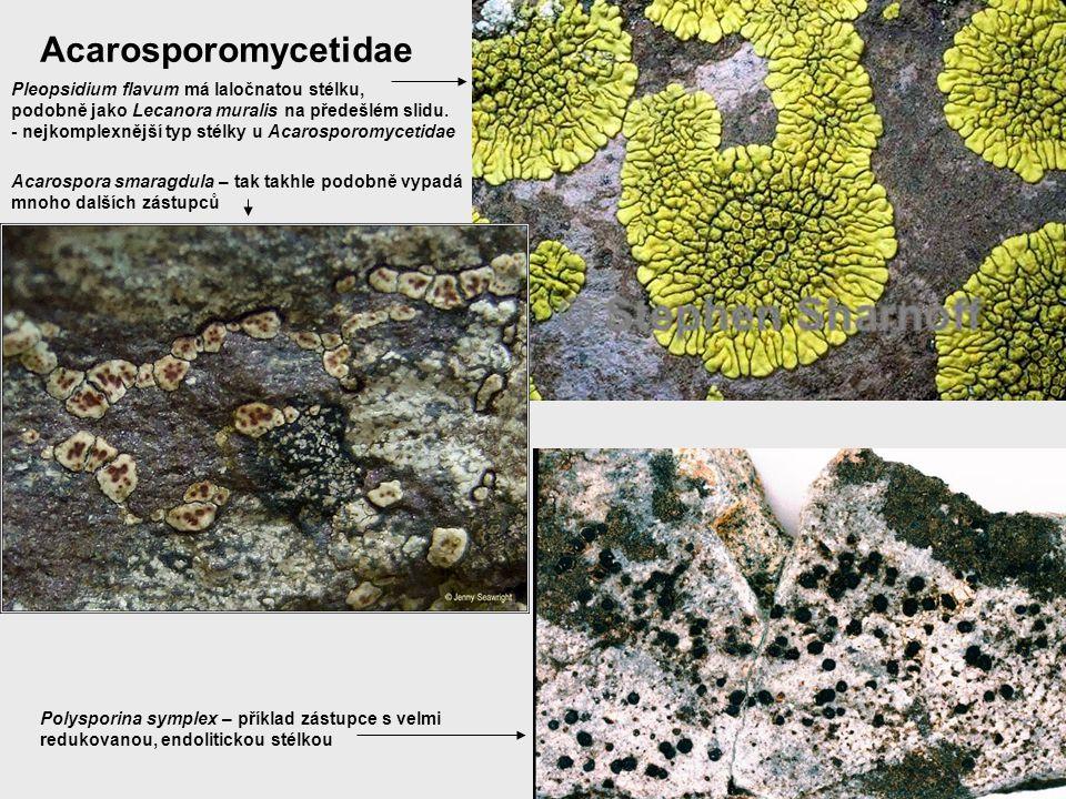 Acarosporomycetidae Pleopsidium flavum má laločnatou stélku, podobně jako Lecanora muralis na předešlém slidu. - nejkomplexnější typ stélky u Acarospo