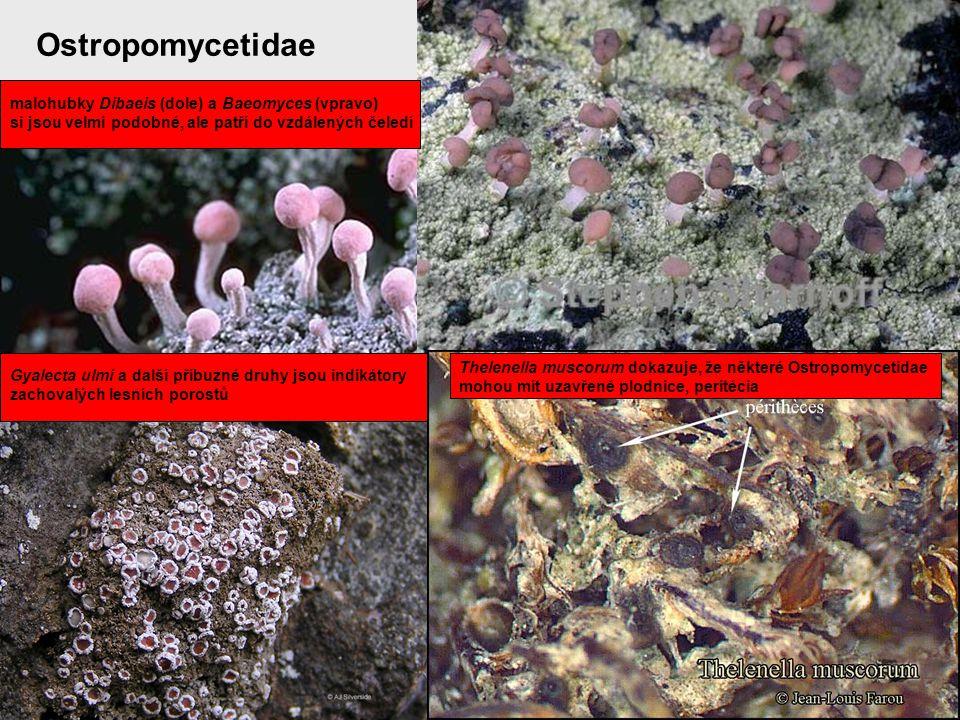 Ostropomycetidae malohubky Dibaeis (dole) a Baeomyces (vpravo) si jsou velmi podobné, ale patří do vzdálených čeledí Gyalecta ulmi a další příbuzné dr