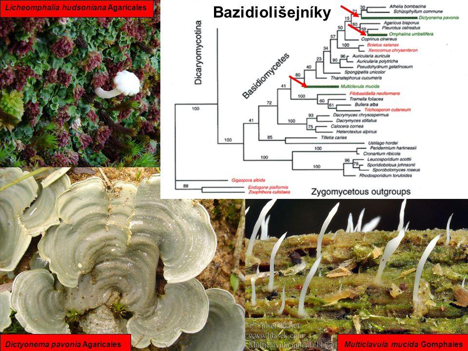 Bazidiolišejníky Dictyonema pavonia AgaricalesMulticlavula mucida Gomphales Licheomphalia hudsoniana Agaricales