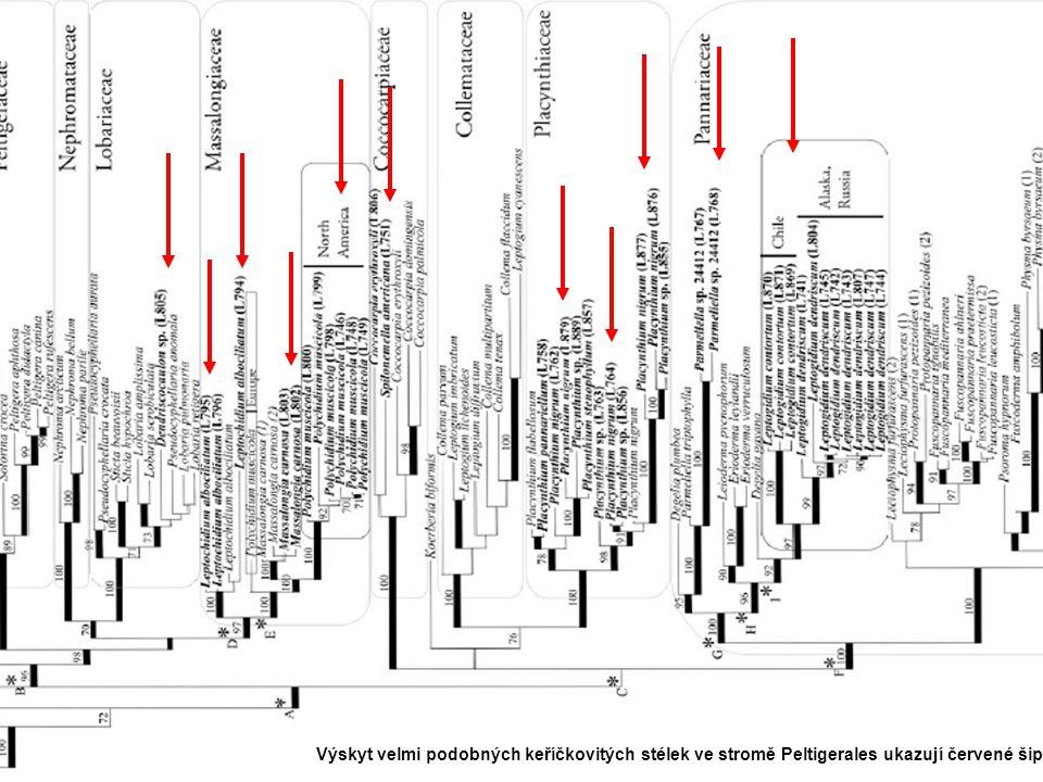 Lecanoromycetidae Výskyt velmi podobných keříčkovitých stélek ve stromě Peltigerales ukazují červené šipky