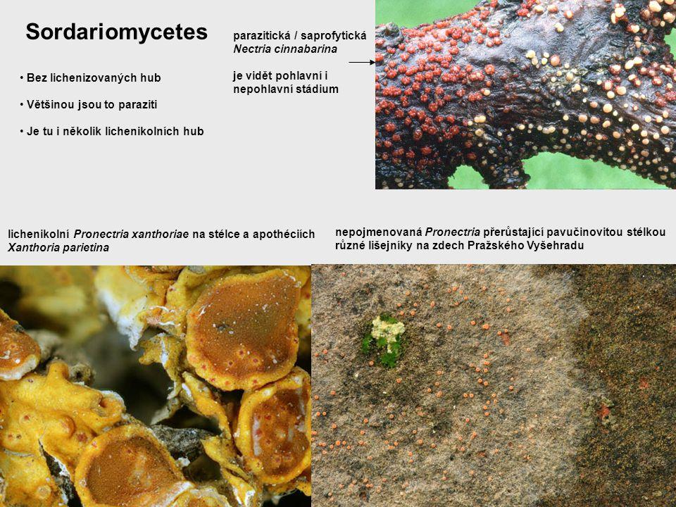 Bez lichenizovaných hub Většinou jsou to paraziti Je tu i několik lichenikolních hub parazitická / saprofytická Nectria cinnabarina je vidět pohlavní