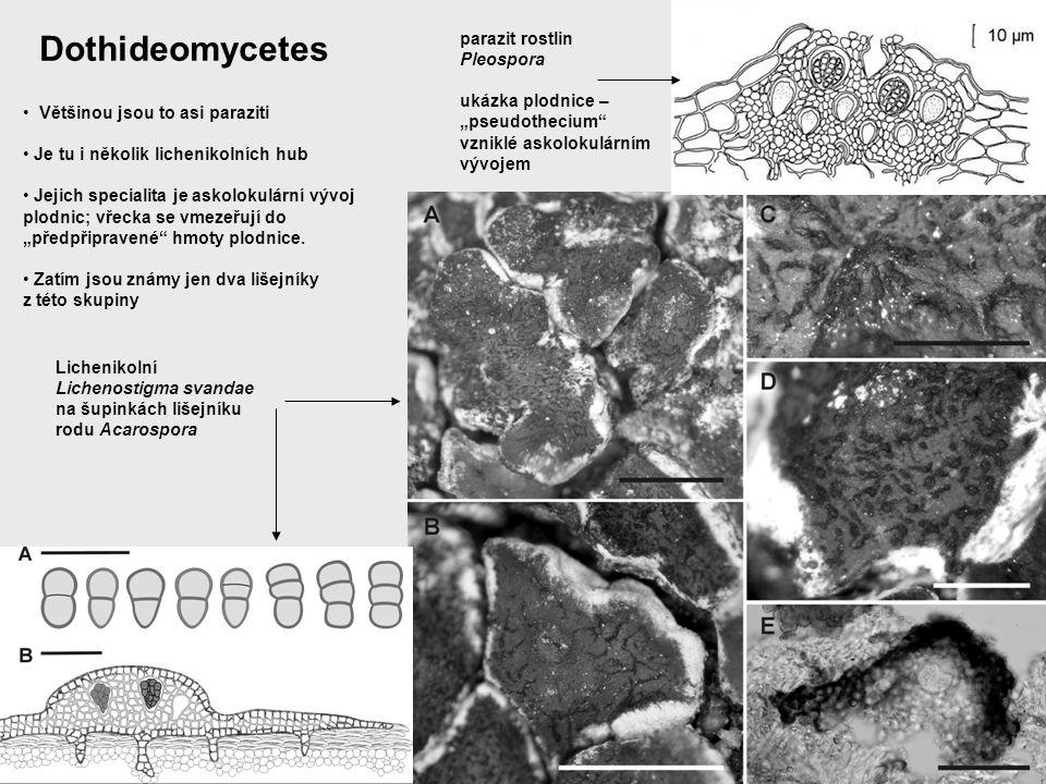 Eurotiomycetes Většinou jsou to paraziti a saprofyti a vypadají velmi různě Je tu i řada lichenikolních hub Je tu i mnoho lišejníků (o tom později) lichenikolní Sphinctrina turbinata na Pertusaria saprofytické Mycocalicium; přesto, že to není lišejník, tento rod byl často studován lichenology lichenikolní Chaenothecopsis nana na šupině dutohlávky
