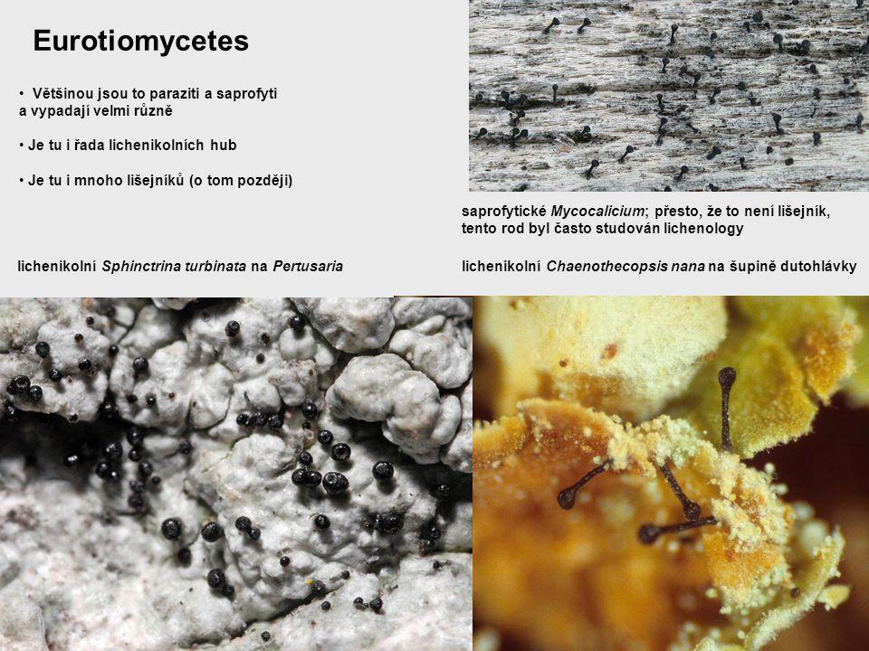 Eurotiomycetes Většinou jsou to paraziti a saprofyti a vypadají velmi různě Je tu i řada lichenikolních hub Je tu i mnoho lišejníků (o tom později) li