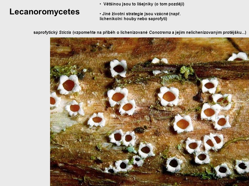 Lecanoromycetes Většinou jsou to lišejníky (o tom později) Jiné životní strategie jsou vzácné (např. lichenikolní houby nebo saprofyti) saprofytický S