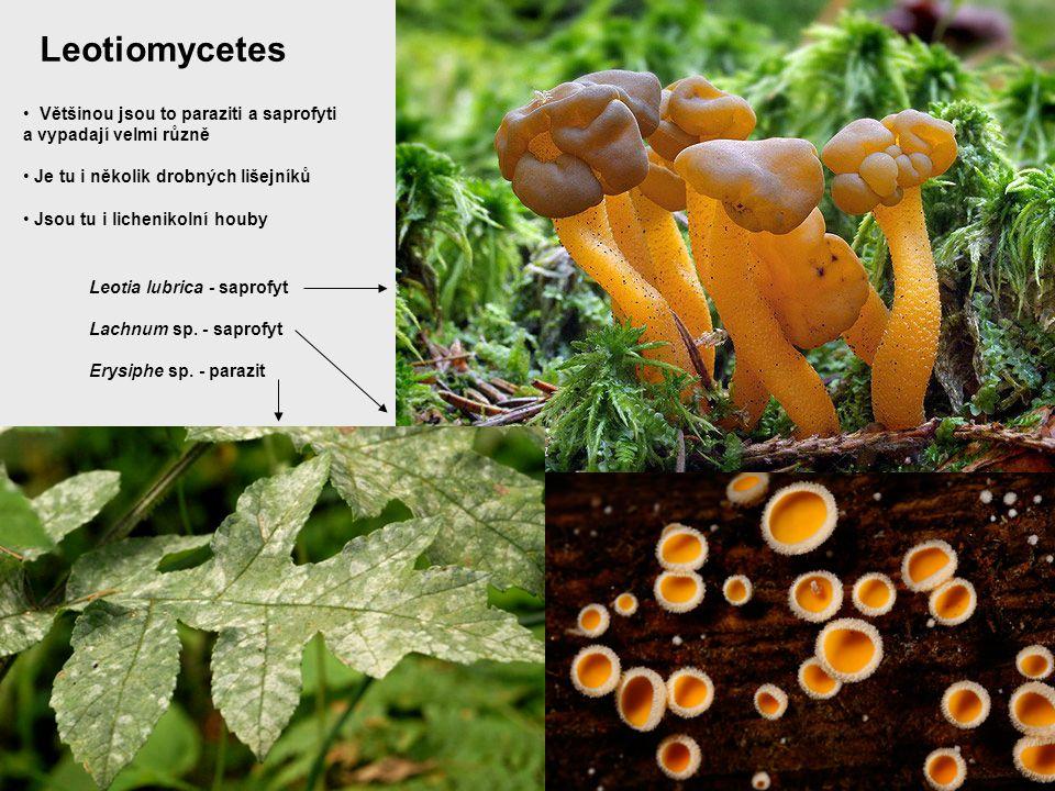 Leotiomycetes Většinou jsou to paraziti a saprofyti a vypadají velmi různě Je tu i několik drobných lišejníků Jsou tu i lichenikolní houby Leotia lubr