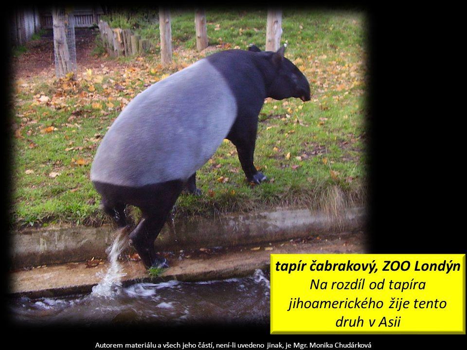 Autorem materiálu a všech jeho částí, není-li uvedeno jinak, je Mgr. Monika Chudárková tapír čabrakový, ZOO Londýn Na rozdíl od tapíra jihoamerického