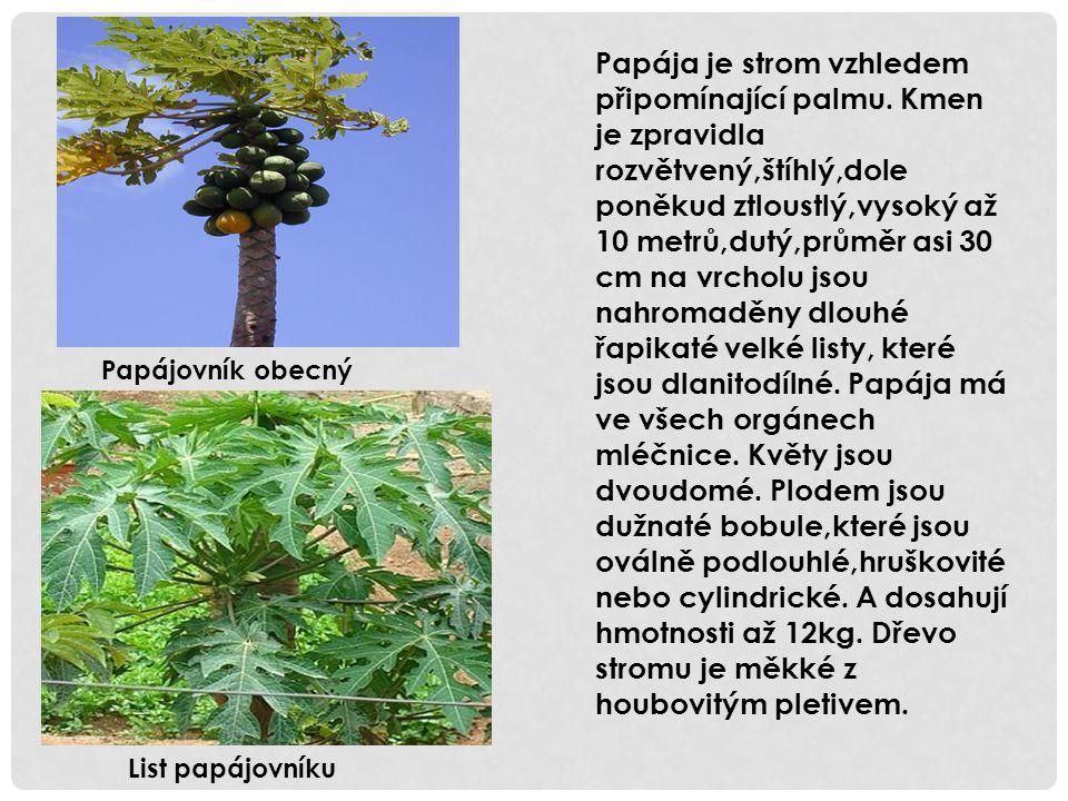 Papájovník obecný Papája je strom vzhledem připomínající palmu. Kmen je zpravidla rozvětvený,štíhlý,dole poněkud ztloustlý,vysoký až 10 metrů,dutý,prů