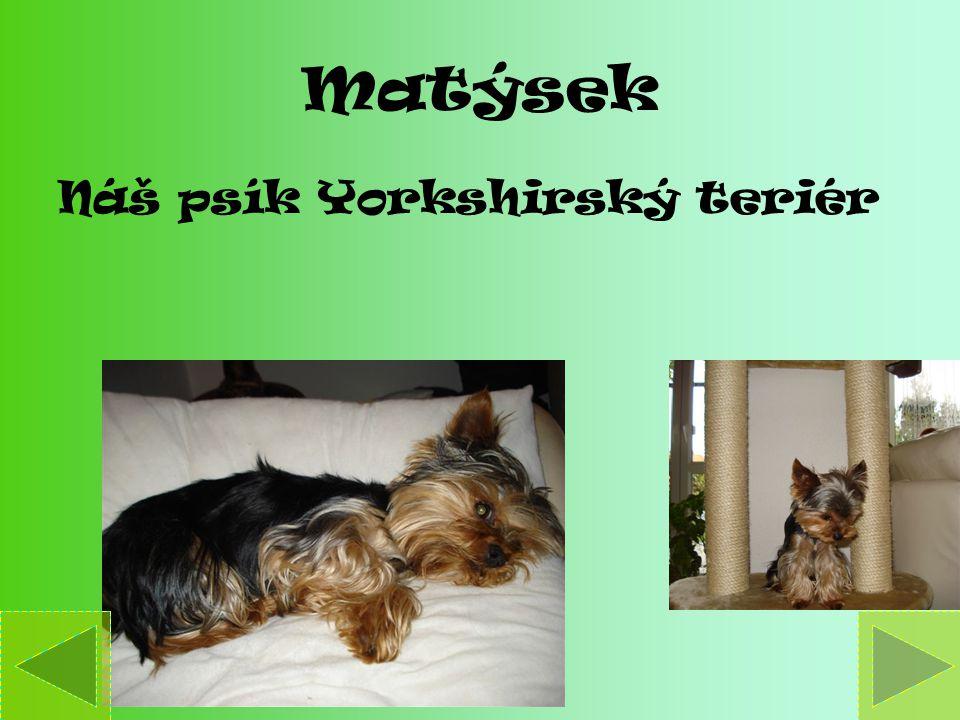 Matýsek Náš psík Yorkshirský teriér