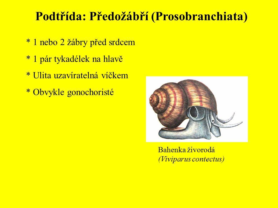 Podtřída: Předožábří (Prosobranchiata) * 1 nebo 2 žábry před srdcem * 1 pár tykadélek na hlavě * Ulita uzavíratelná víčkem * Obvykle gonochoristé Bahe