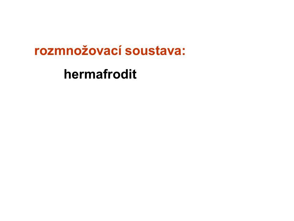 rozmnožovací soustava: hermafrodit