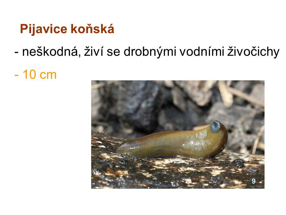 Pijavice koňská - neškodná, živí se drobnými vodními živočichy - 10 cm 9