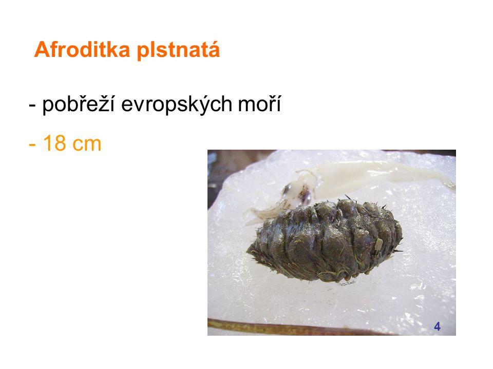 Afroditka plstnatá - pobřeží evropských moří - 18 cm 4