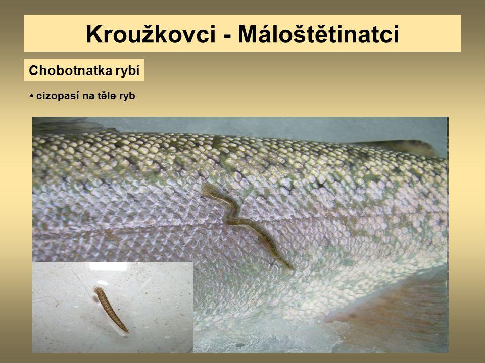 Kroužkovci - Máloštětinatci Chobotnatka rybí cizopasí na těle ryb