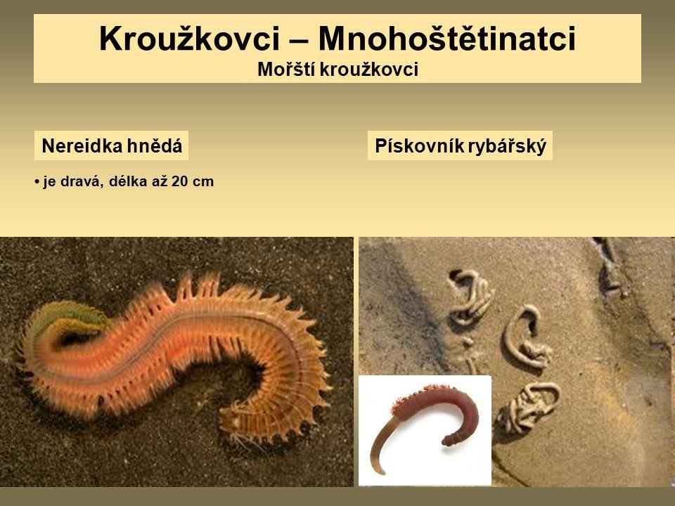 Kroužkovci – Mnohoštětinatci Mořští kroužkovci Nereidka hnědá je dravá, délka až 20 cm Pískovník rybářský