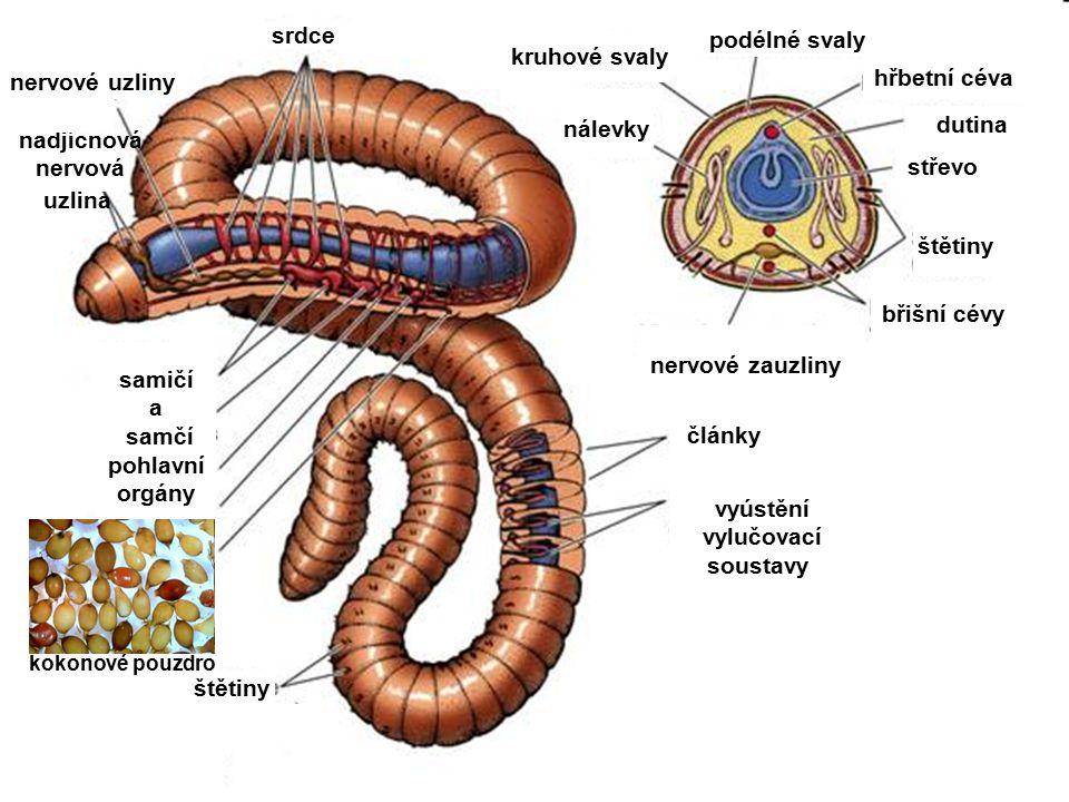 srdce články vyústění vylučovací soustavy nálevky štětiny břišní cévy nervové zauzliny střevo podélné svaly kruhové svaly štětiny nadjícnová nervová uzlina nervové uzliny hřbetní céva dutina samičí a samčí pohlavní orgány kokonové pouzdro