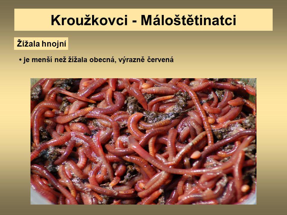 Kroužkovci - Máloštětinatci Žížala hnojní je menší než žížala obecná, výrazně červená