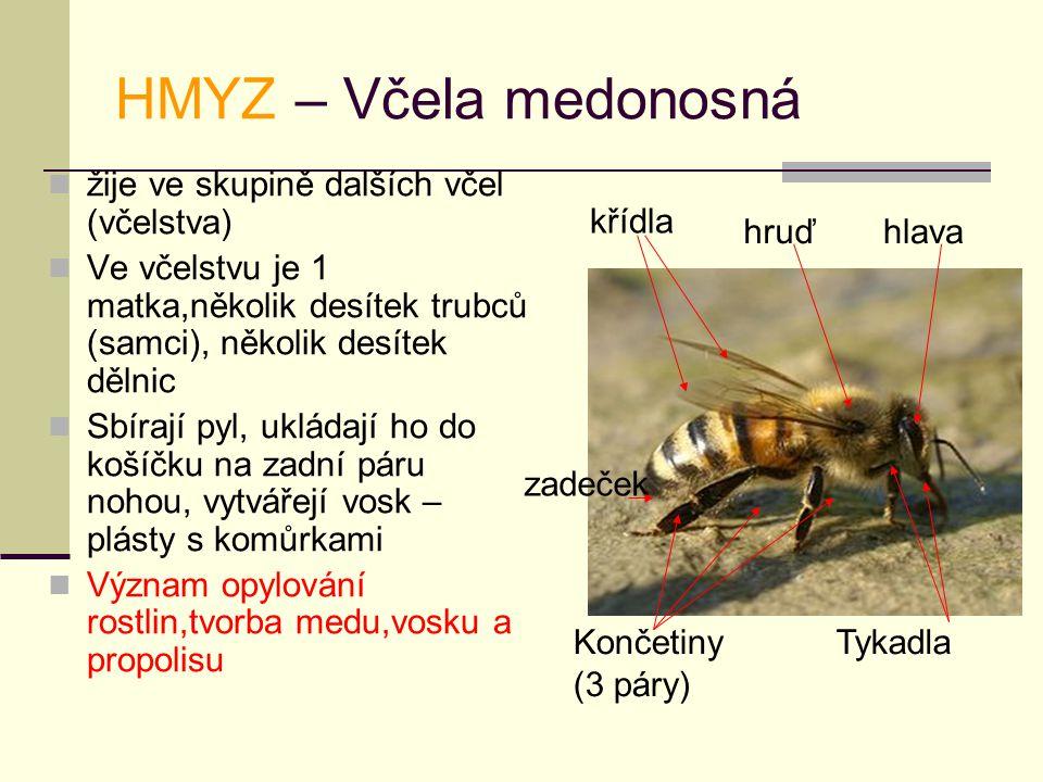 HMYZ – Včela medonosná žije ve skupině dalších včel (včelstva) Ve včelstvu je 1 matka,několik desítek trubců (samci), několik desítek dělnic Sbírají pyl, ukládají ho do košíčku na zadní páru nohou, vytvářejí vosk – plásty s komůrkami Význam opylování rostlin,tvorba medu,vosku a propolisu Tykadla křídla Končetiny (3 páry) hlava zadeček hruď