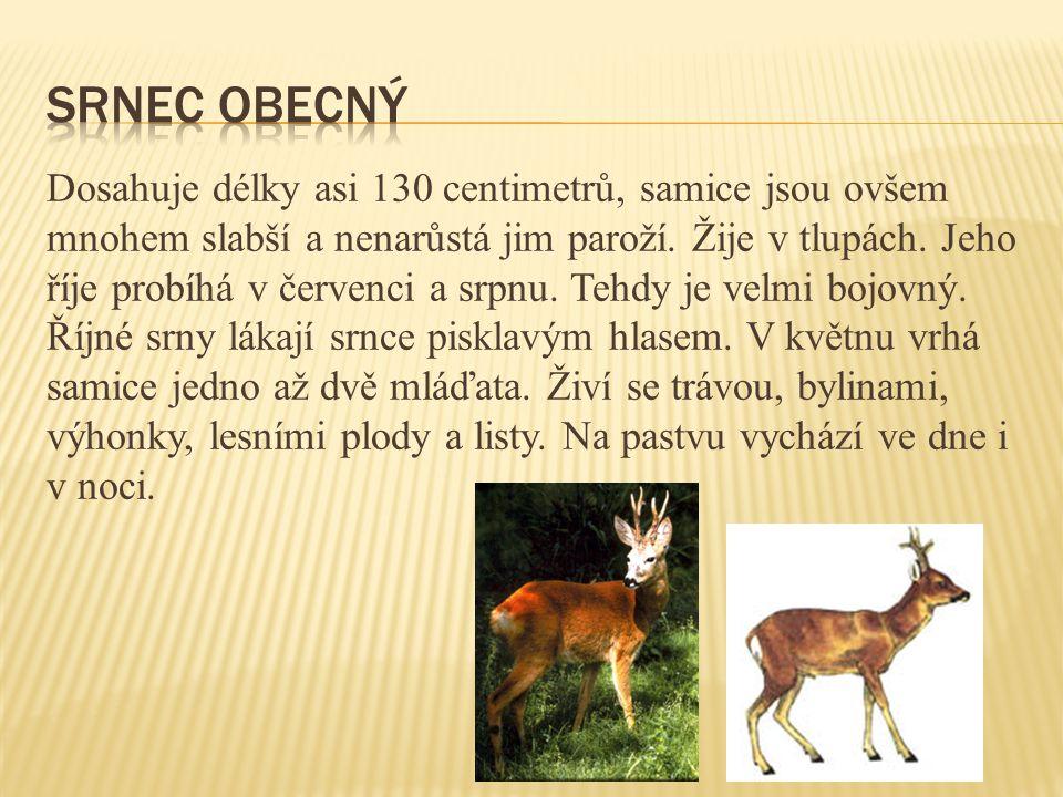 Je dlouhá asi 70 cm.V lese si vyhrabává doupě. Samice vrhá 4 až 12 mláďat.