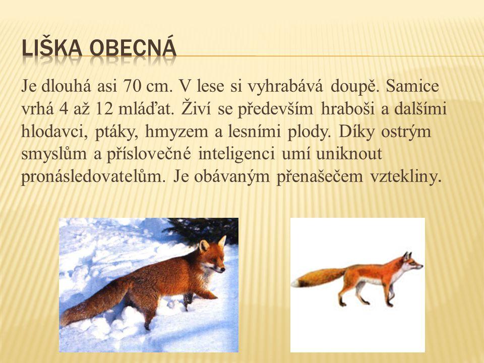 Je dlouhá asi 70 cm. V lese si vyhrabává doupě. Samice vrhá 4 až 12 mláďat. Živí se především hraboši a dalšími hlodavci, ptáky, hmyzem a lesními plod