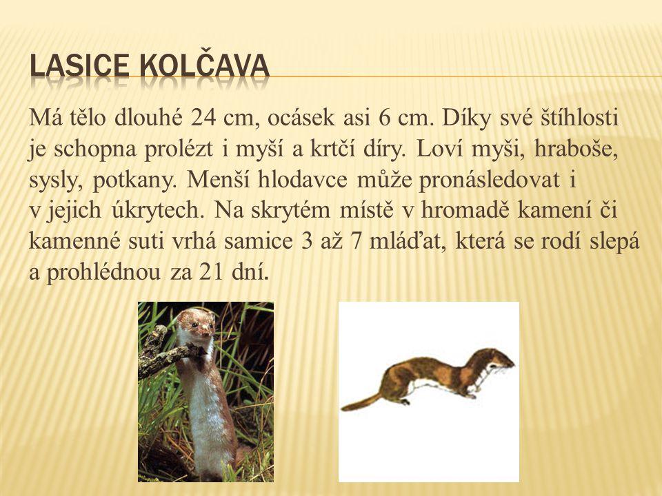 Má tělo dlouhé 24 cm, ocásek asi 6 cm. Díky své štíhlosti je schopna prolézt i myší a krtčí díry. Loví myši, hraboše, sysly, potkany. Menší hlodavce m