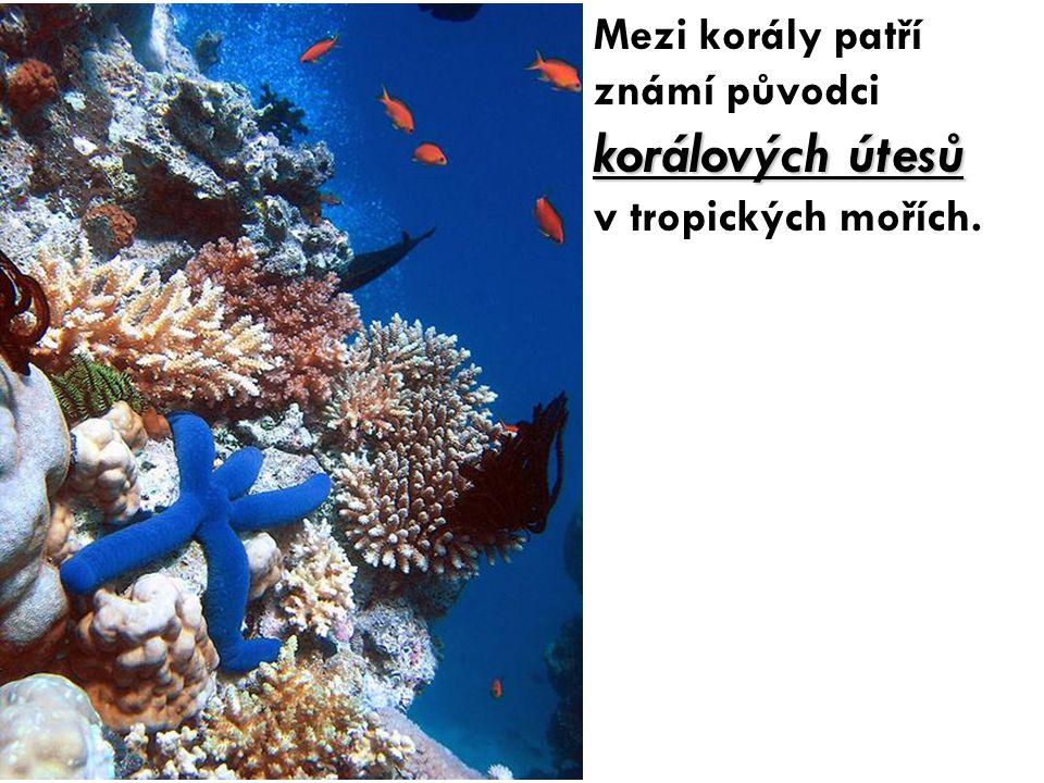 korálových útesů Mezi korály patří známí původci korálových útesů v tropických mořích.
